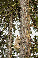 Spirit Bear Cub and Sibling Black Bear up in a tree! Special Sighting!