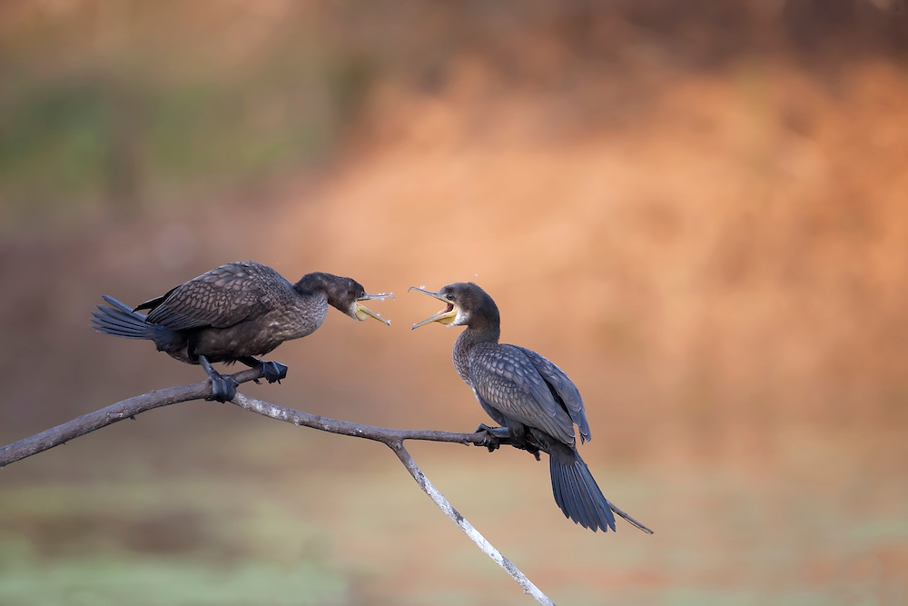 Little Cormorant - Phalacrocorax niger
