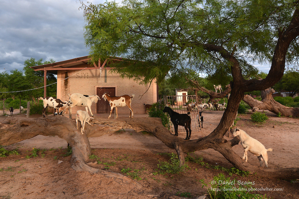 Goats in Isosog