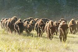 Backlit bison herd, Vermejo Park Ranch, New Mexico, USA.
