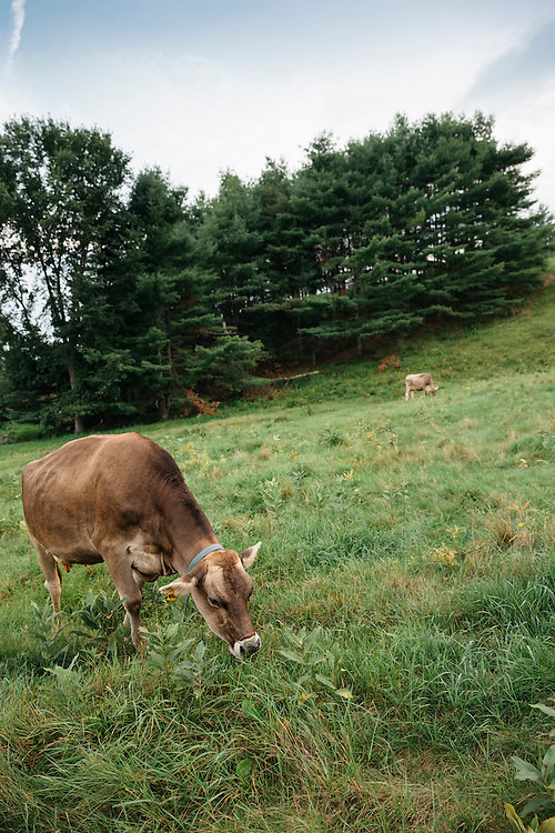 Brown Swiss cows grazing in the meadow on a summer's eve