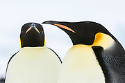 A pair of courting Emperor Penguins (Aptenodytes forsteri), Snow Hill Island, Weddell Sea, Antarctica