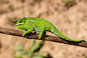 Male canopy chameleon (Frucifer willsii) from eastern Madagascar. Controlled conditions.