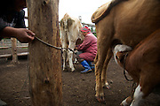 Ina Natpiool, 37, milk cows at their camp outside Chodura village the taiga in Tuva Republic, Russia. Like many other animal herders in the republic, Natpiool prefers traditional farming methods but finds it difficult to compete in modern society.