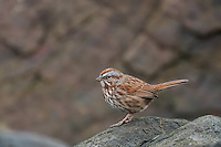 The song sparrow is found in nearly every part of North America, including Northern Mexico all the way north to the arctic tundra. This redder-than-usual sparrow was seen hopping around the rocks at the low-tide line looking for bits and pieces of food left by the receeding water on Washington's Puget Sound, about 25 miles south of Seattle.
