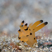 Thecacera sp. nudibranch trying to make headway against the current in Lembeh Strait, North Sulawesi, Indonesia