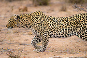 African leopard (Panthera pardus) stalking a prey through bush