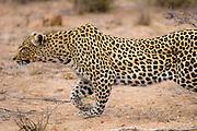 African leopard (Panthera pardus) stalking a prey through bush