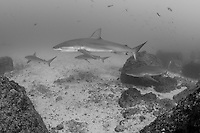 A group of Galapagos Sharks passes by<br /> <br /> <br /> Shot at Cocos Island, Costa Rica