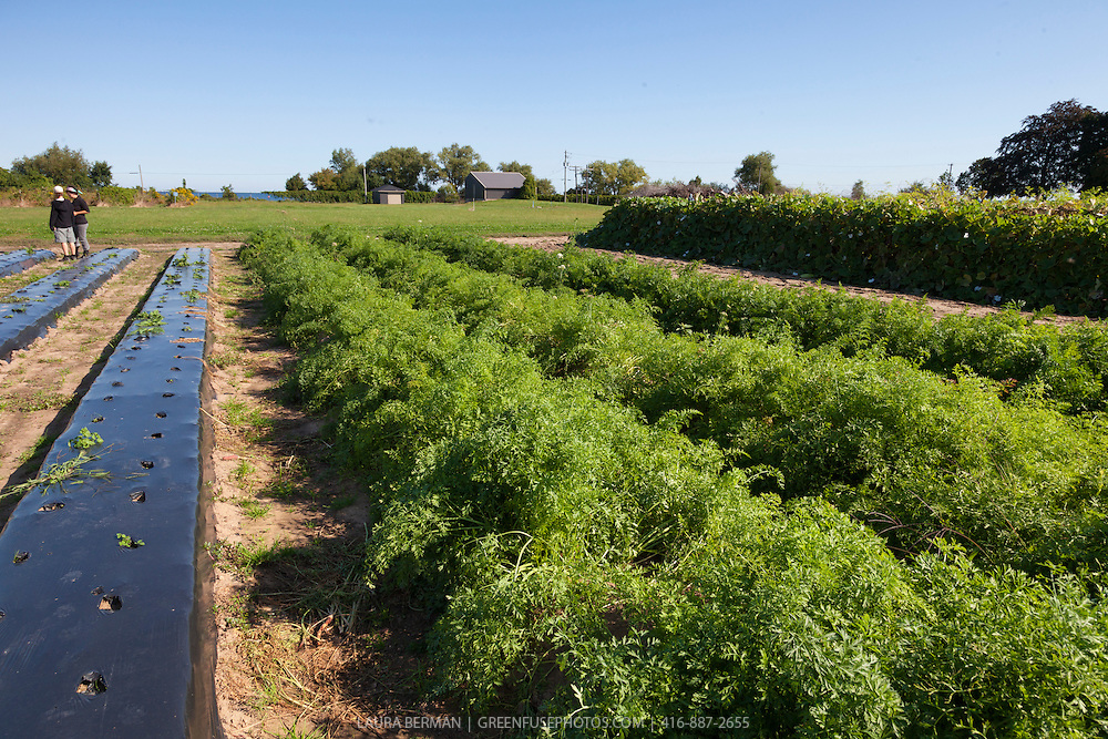 A farm field planted with carrots with black plastic mulch.