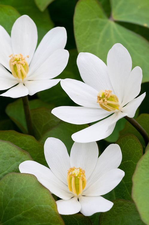 Twinleaf, Jeffersonia diphylla, Michigan