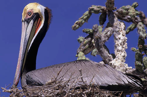 Brown Pelican, (Pelecanus occidentis) Nesting.Sea of Cortez. Baja Mexico.