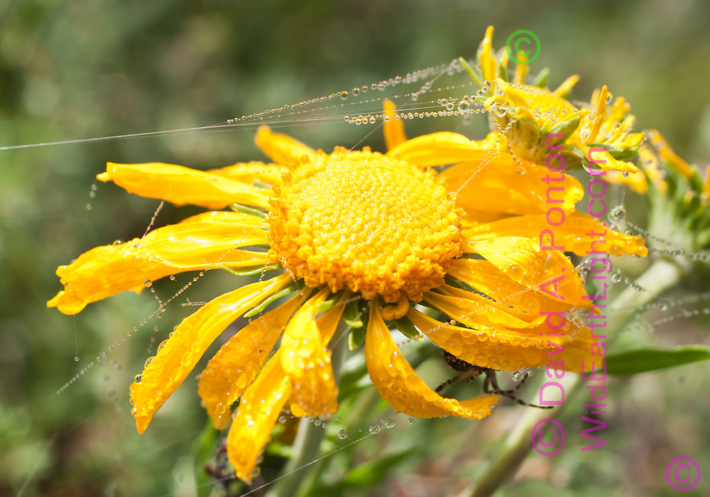 Dewdrops on spider silk attached to wildflower in mountain meadow. Orb weaving spider is just visible hiding under the flower. © 2007 David A. Ponton