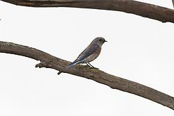 Female, Western Bluebird (Sialia mexicana), Baylands Nature Preserve, Palo Alto, California, United States of America
