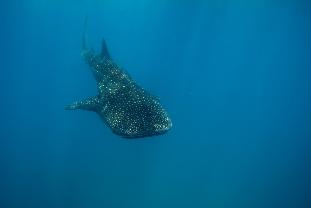 The whale shark, (Rhincodon typus), is a slow-moving filter feeding shark and the largest extant fish species. The largest confirmed individual had a length of 12.65 metres (41.50 ft) and a weight of more than 21.5 tonnes (47,000 lb), and there are unconfirmed reports of considerably larger whale sharks. The whale shark is found in tropical and warm oceans and lives in the open sea with a lifespan of about 70 years. Although whale sharks have very large mouths, as filter feeders they feed mainly, though not exclusively, on plankton, which are microscopic plants and animals. However, the BBC program Planet Earth filmed a whale shark feeding on a school of small fish. The same documentary showed footage of a whale shark timing its arrival to coincide with the mass spawning of fish shoals and feeding on the resultant clouds of eggs and sperm.