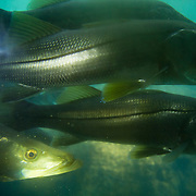 School of Snook, Homosassa Springs, Florida