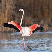 Flamingo landing in the water