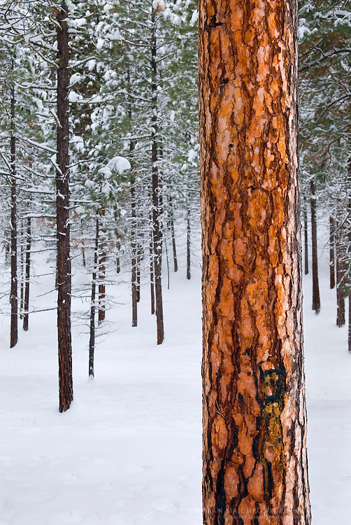 Ponderosa Pine forest (Pinus ponderosa) in winter Okanogan National Forest Washington USA