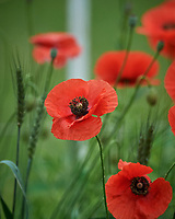 Red/Oriental Poppies. Image taken with a Nikon D5 camera and 600 mm f4 VR lens