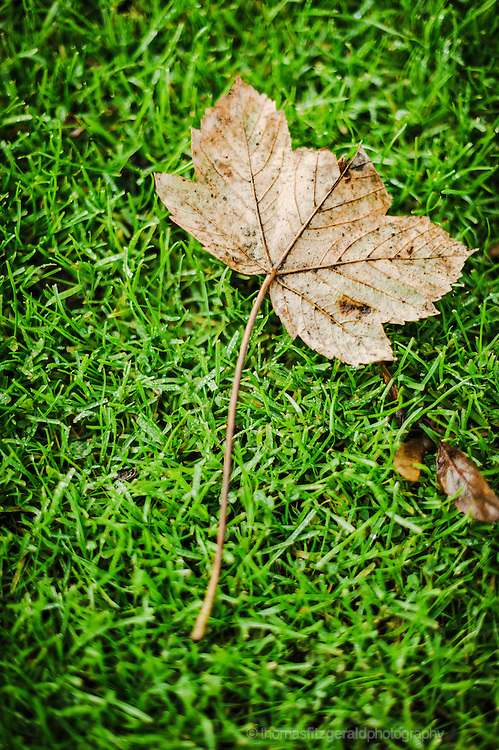 A Single fallen brown Autumn leaf on a grass background