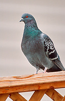 Rock Dove (Columba livia) perched on garden fence, Calgary, Alberta, Canada