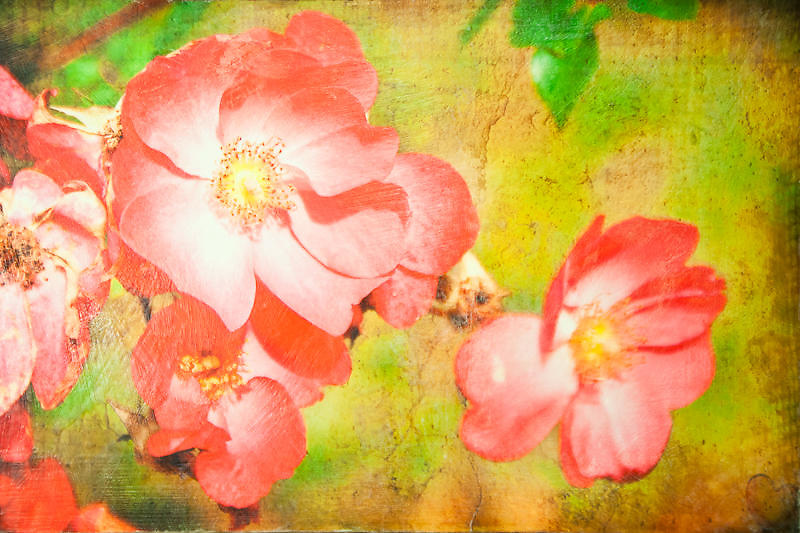 Wild Roses Photo-Encaustic Art 24x36