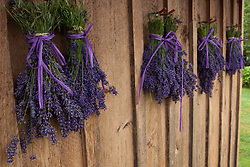 North America, United States, Washington, Sequim,bunches of lavender drying shed at Lavender Festival, held annually each July