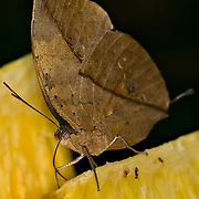 Orange Oakleaf [Kallima inachus], also called the Dead Leaf Butterfly.  When the butterfly's wings are held closed above its body, it resembles a dead leaf.  The open wings show a combination of brigt orange stripes against a dark background, and eye spots.