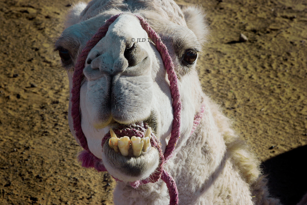 Head on view of a white Sahara camel, with a pink rope bridle.  The creature looks directly at the camera, mouth open, showing dreadfully bad teeth,