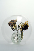 Still life of dried sunflowers under a glass bowl