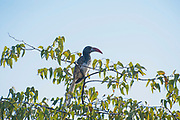 Monteiro's hornbill (Tockus monteiri), endemic to Namibia, feeds exclusively on insects and other small arthropods. Its habitat is the savannah and dry thorn fields of NW Namibia. This bird is named after Joachim J Monteiro (1833-1878) a mining engineer who collected Angolan bird specimens from 1860-1878. Photographed at Okinjima Lodge, Namibia, Southern Africa.