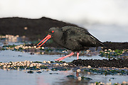 Variable Oystercatcher, Curio Bay, New Zealand