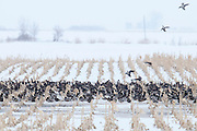 Mallards, Anas platyrhynchos, Greater White-fronted Geese, Anser albifrons, Brown County, South Dakota