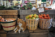 WARWICK, NY - October 22:  Carl the cat sit at Pennings Orchard and Farm Market on October 22, 2009 in WARWICK, NY. Pennings is a diversified gourmet food boutique in the historic town of Warwick, New York, in the lower Hudson Valley.  (Photo by Michael Bocchieri/Bocchieri Archive)