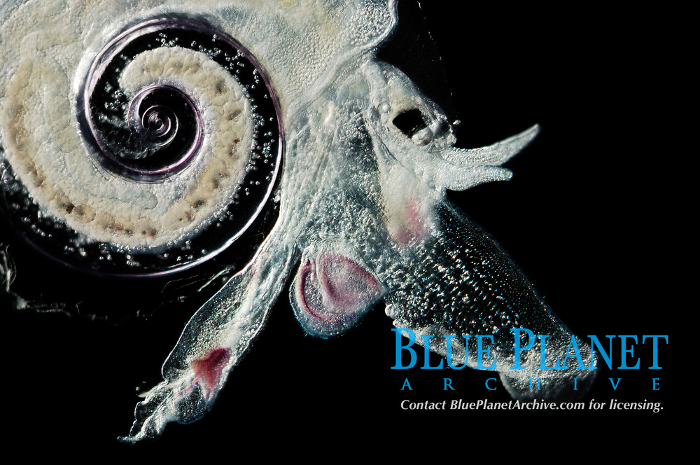 heteropod, wing-head mollusk, Atlanta peroni, deep sea, South Atlantic Ocean
