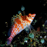 A Dwarf Hawkfish Cirrhitichthys Falco,  in the Lembeh Straits, Indonesia.