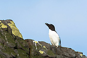 Razorbill seabird, Alca torda, coastal bird with razor beak on rocks on Isle of Canna part of the Inner Hebrides and Western Isles in West Coast of Scotland