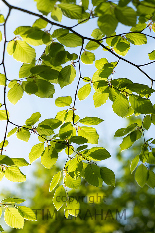 Sunlight through Beech tree deciduous leaves - Fagus - in late Spring / early Summer in the Gloucestershire Cotswolds, UK