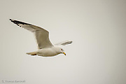 Ringed-billed gull flies along the shore of Lake Washington