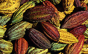 Mazorcas de Cacao. El Cacao crece en forma de mazorca, la cual al madurar toma diferentes colores que van del rojo al anaranjado y del morado al marrón. Este fruto es la materia prima para la creación del chocolate. 2001.(Ramón Lepage / Orinoquiaphoto)  The Cocoa grows like a cob. The fruits when ripen take different colors that go from the red to orange and  purple to brown.  This fruit is the prime material for the elaboration of chocolat. 2001  (Ramón Lepage / Orinoquiaphoto)