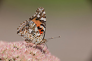Painted Lady; Vanessa cardui; on Sedum spectablile; PA, Philadelphia;