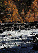 The Wenatchee River boils through the Tumwater Canyon west of Leavenworth making it a playground for kayakers and an excellent place to enjoy the last color of fall's leaves. (Mark Harrison / The Seattle Times)