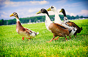Four Calico Ducks in Oyster Bay, Long Island