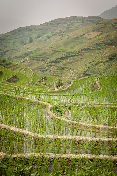 Terraced rice fields of Lao Cai Province, Northern Vietnam, Southeast Asia.