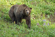 Scarface, or Yellowstone Grizzly 211, is one of the oldest known grizzlies in Yellowstone. Like all male grizzlies, Scarface has an extremely large territory, but in early summer you can usually find him on Dunraven Pass feasting in meadows full of cow parsnip and biscuitroot.