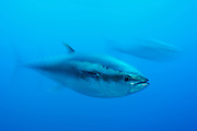 [captive] Atlantic Bluefin Tuna (Thunnus thynnus)