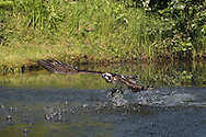 Osprey flies up from pond on powerful wings after catching a fish, © 2015 David A. Ponton