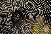 Spider Web in field. Savannah, Georgia U.S.A