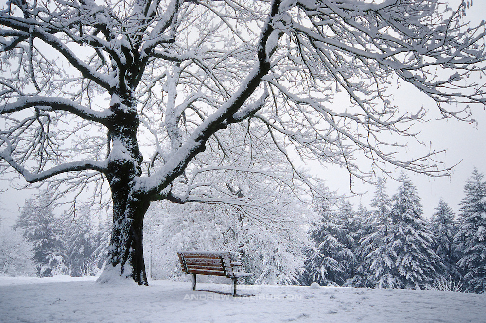 Tree and bench in snow, Mount Tabor Park.  In 1903, John Charles Olmsted of the Massachusetts-based landscape design firm Olmsted Brothers recommended that a city park be developed at Mount Tabor.  Portland Parks Superintendent Emanuel T. Mische, who had worked at Olmsted Brothers, consulted with Olmsted on the park layout and integration of the reservoirs into the park design.  Photo: January 2002.  Nikon F4, 24-85/2.8-4D.  Kodak E100VS
