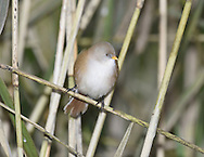 Bearded Tit - Panurus biarmicus - female. L 16-17cm. Reedbed specialist with a rounded body and long tail. Distinctive call leads to affectionate nickname of 'pinger'. Forms flocks outside breeding season. Sexes are dissimilar<br /> Adult male has sandy brown body and tail, with black and white markings on wings. Head is blue-grey with black 'moustache'. beady yellow eye and yellow bill. Adult female is similar but head is sandy brown. Juvenile is similar to adult female but back is blackish, throat is whiter and eye colour is darker. Voice Utters diagnostic, high-pitched ping call. Song is seldom heard. Status Rather scarce and associated exclusively with extensive reedbeds.